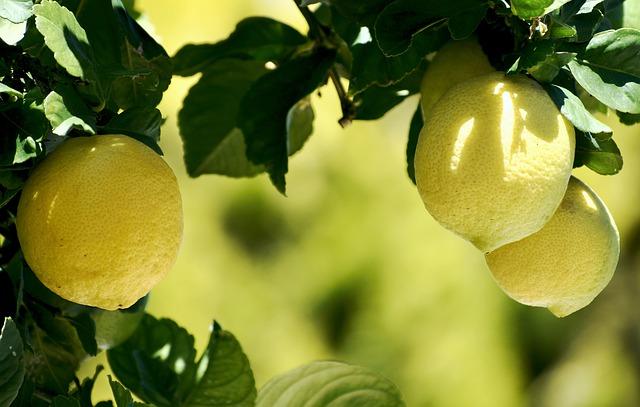 citrónovník s plodmi.jpg