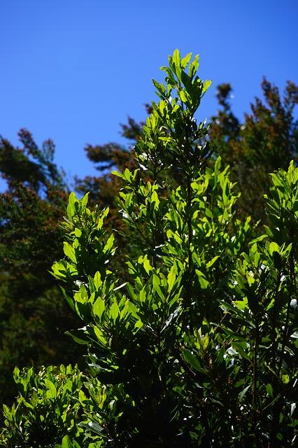 vavrínový strom.jpg