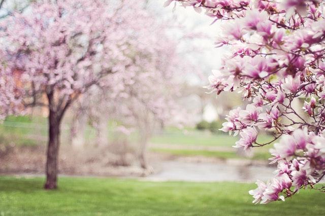 Rozkvitnuté ružové stromy na jar